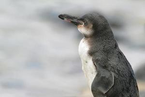 pinguim de galápagos, ilhas galápagos, equador foto