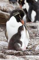pinguim rockhopper e seu filhote foto