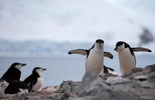 pinguins chinstrap na formação rochosa