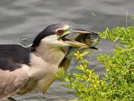 garça-real-de-coroa-preta havaiana (auku'u) pega um peixe foto