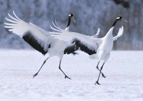 dança de namoro de guindaste japonês foto