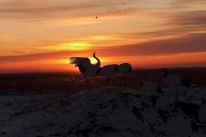 pôr do sol e guindaste de coroa vermelha foto