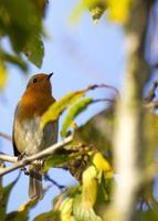 peito vermelho de robin (erithacus rubecula) foto