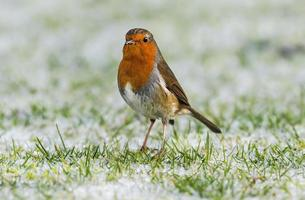 pisco de peito vermelho na grama congelada foto