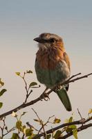 pássaro indiano rolo sentado em um membro, Namíbia