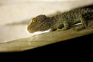 lagartixa chamando lagartixa tropical asiático gecko foto