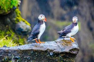 papagaio-do-mar - islândia foto