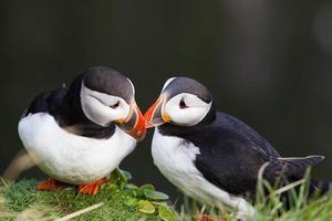 dois papagaios-do-mar árticos foto