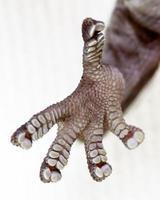 pés de lagartixa foto