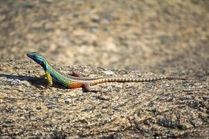 augrabies lagarto plano masculino foto