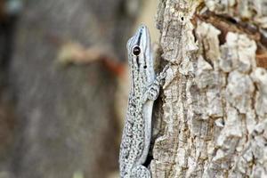 dia de gecko grosso, isalo, madagascar foto