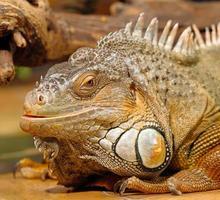 iguanas sentado no terrário foto