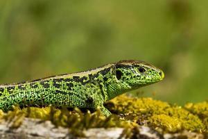 lagarto de areia verde perto com fundo legal foto