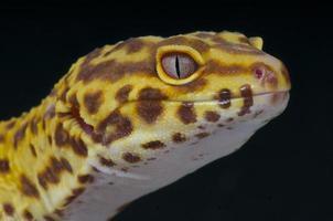 lagartixa-leopardo / eublepharis macularius foto