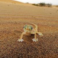 lagartixa-de-patas, palmatogecko (pachydactylus rangei) foto