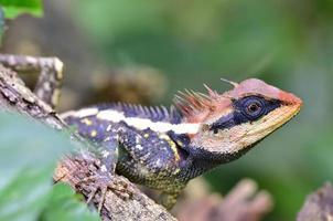 acanthosaura armata, maior lagarto espinhoso, com crista e rosto preto foto