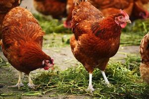 galinhas na exploração avícola tradicional ao ar livre foto