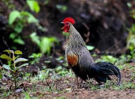 aves da selva indiana foto