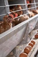 fábrica de frango foto