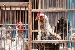 duas galinhas em uma gaiola para venda foto