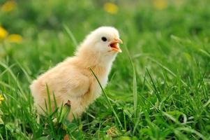 galinha pequena foto