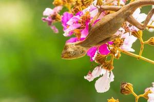 lagarto jovem foto