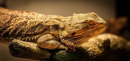 dragão barbudo está olhando você. foto
