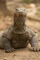 dragões de komodo, varanus komodoensis foto