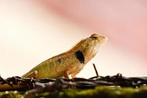 lagarto selvagem na Tailândia foto