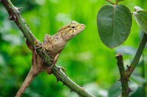 lagarto nativo tailandês marrom foto