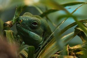 iguana olha através da grama foto