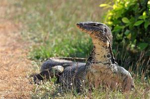 lagarto monitor de água (varanus salvator) foto