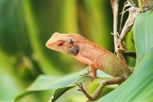 lagarto laranja foto