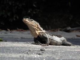 iguana encalhada foto