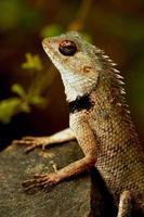 lagarto em ação foto