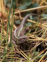 lagarto de areia feminino foto