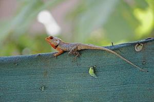 lagarto de jardim indiano (calotes versicolor) foto