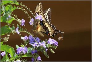 o rabo de andorinha gigante é uma borboleta rabo de andorinha