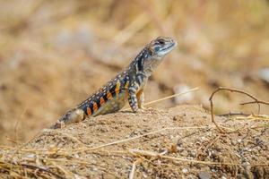 frente fechar de lagarto borboleta