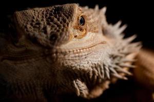 retrato de close-up de dragão barbudo foto