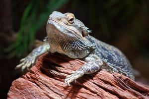 dragão barbudo (pogona) foto