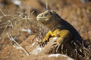 iguana terrestre da ilha de Galápagos - conolophus subcristatus foto