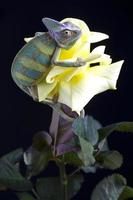 camaleão em flor foto