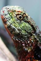 lagarto de crocodilo chinês foto