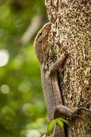 lagarto monitor de árvore foto