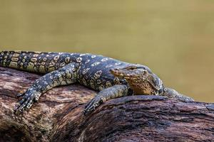 lagartos de monitor (varanus varius) foto