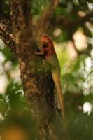 agamá lagarto masculino com bokeh de fundo foto