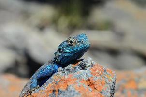 lagarto de agama cabeça azul foto