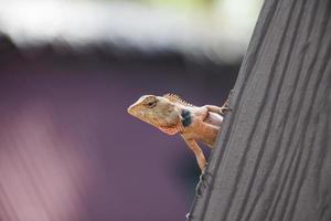 lagarto tropical em um telhado