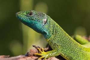 lagarto verde europeu foto